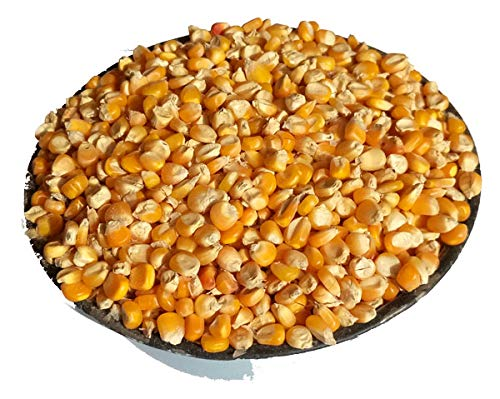 Being Marwari Popcorn KERNELS Seeds , 400g